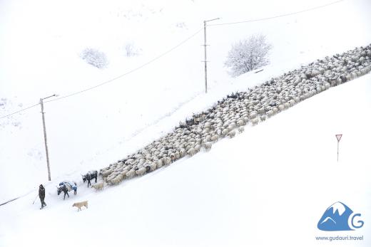 Стада баранов на Военно Грузинская Дорога. Гудаури Грузия.